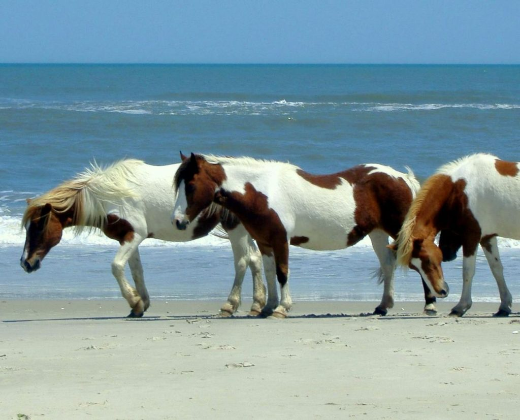 1268px-Horses_on_the_beach_at_Assateague-1024x827