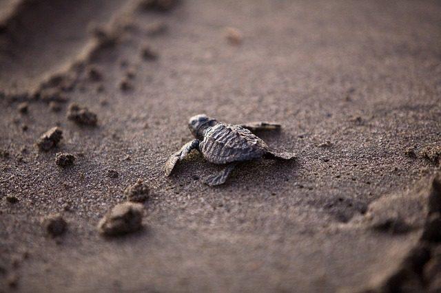 sea-turtle-356125_640-640x426