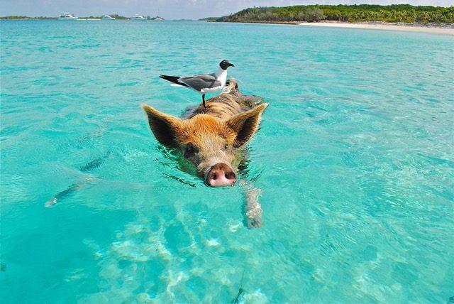 staniel-cay-swimming-pig-seagull-fish-66258-640x428