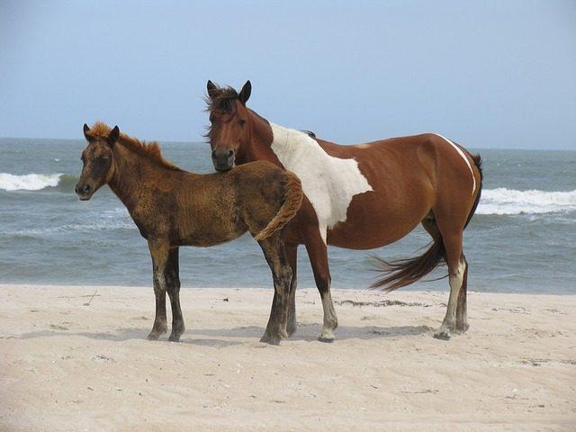 wild-horses-838754_640-640x480